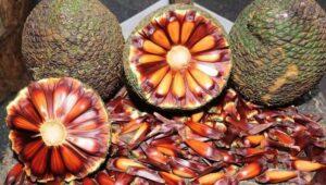 Semente de Pinhão da Araucária